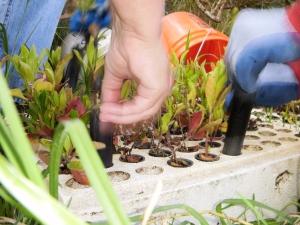 Volunteers eagerly grab native shrub starts