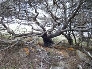 A Native tree
