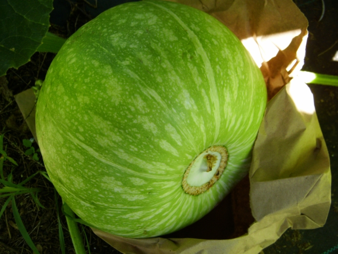 Rare Squash From Gori, Republic of Georgia, Central Asia Now Growing in Hawaii
