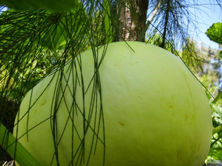 Rare Ugandian Squash Growing Under the Hawaiian Sun