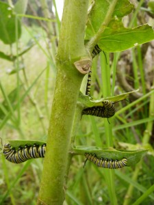 group monarch