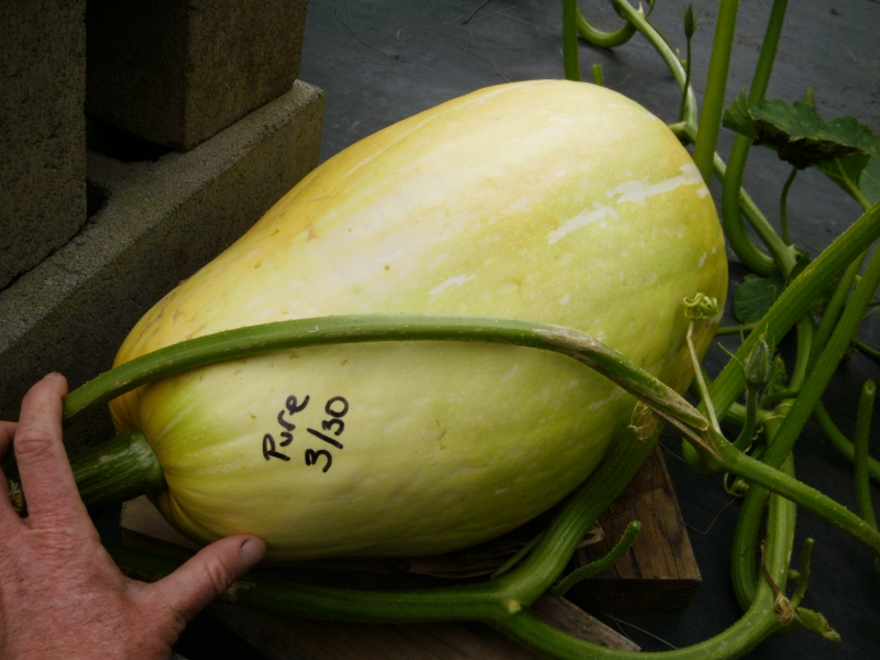 Giant Pink Banana Squash from Uganda