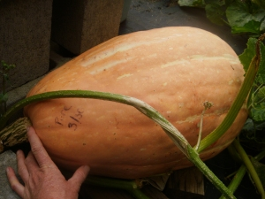 Ugandan Giant Pink Banana Squash at Maturity