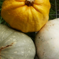 Three Ultra Rare Squash Grown for Seed