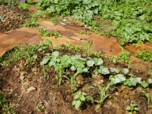 three sisters method of beans, corn, and squash, surrounded by reclaimed cardboard. Soil building and moisture holding cardboard also minimizes weeds