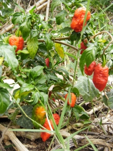 returning home to ghost peppers