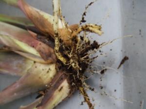 lemongrass root