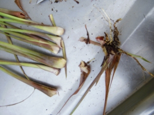 prepping lemon grass