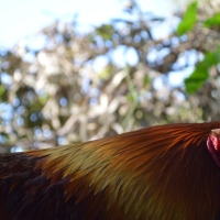 Lessons from a Rooster