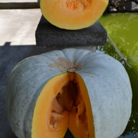 Rare Gori Blue Mottled Pumpkin Trials