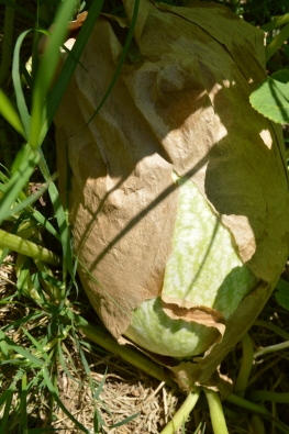 The very first Fig Leafed Gourd aka Malabar Gourd
